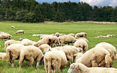 L'agnello è ancora la carne ovina più consumata in Toscana. Nuovi mercati possibili con il metodo islamico halal