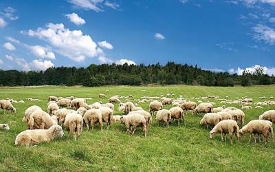 Carne ovina, la macellazione tradizionale toscana e quella islamica (halal) a confronto. Fino alla degustazione del prodotto cucinato
